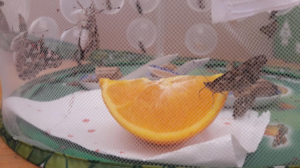 Papillons éclosions